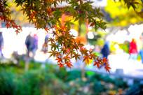 垂落的红枫叶