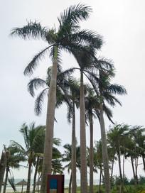 海南岛大王棕