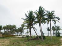 海南岛椰子树