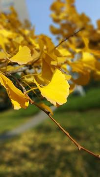 秋季黄色银杏唯美图