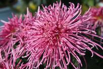 盛开的金秋菊花