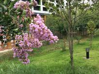 春天的紫萝兰
