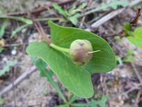 旋花科植物厚藤蒴果