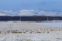 呼伦贝尔牧场之冬草地羊群