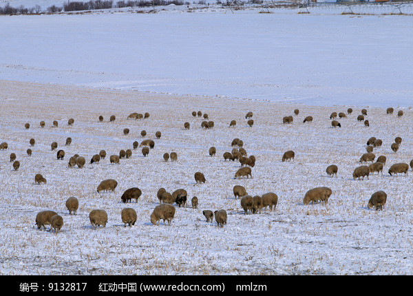 雪原羊群图片