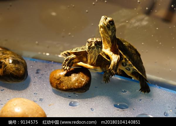 黄色小石子上的两只小巴西龟图片