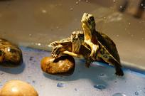 黄色小石子上的两只小巴西龟