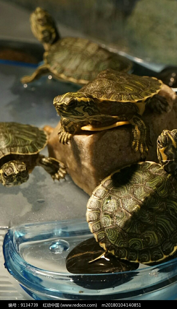 趴在石头上的四只乌龟图片