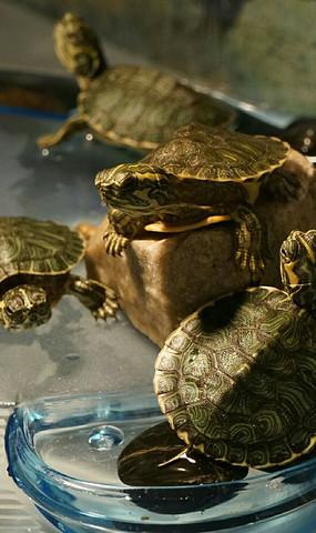 趴在石头上的四只乌龟