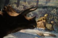 三角龙剪影后面的两只小巴西龟
