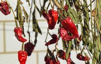 冬季的红辣椒图片