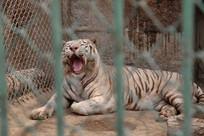 笼中的白老虎