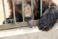 舔食物的棕熊