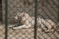 铁笼笼中的白老虎