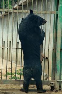 抓围栏站立的黑熊