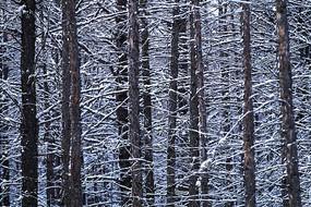 版画雪森林
