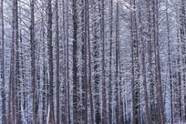 大兴安岭版画般的树林