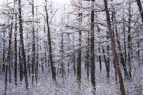 松林冬季雾凇风光