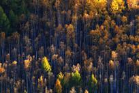 大兴安岭晚秋森林
