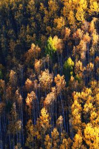 秋季白桦林