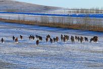 冬季牧场马群