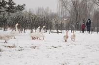 公园雪地里的观赏鹅