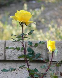 黄色的玫瑰花