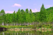 湖泊白桦林风景