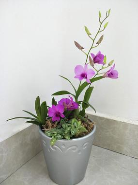 兰花盆栽之含苞欲放