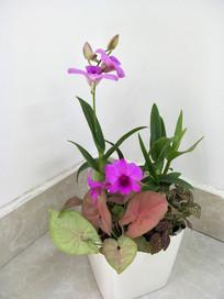 兰花盆栽之阖家欢乐