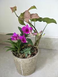 兰花盆栽之一手遮天