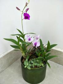 兰花盆栽之一枝独秀
