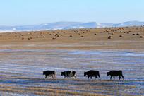 牧场之冬草地牛群