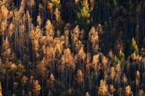 大兴安岭森林梦幻般的秋色