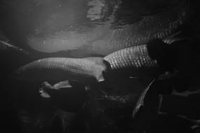 黑白色调的巨骨舌鱼群尾部视角