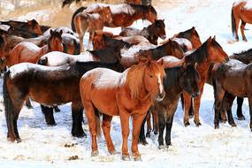 牧场之冬蒙古马