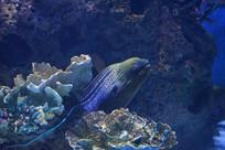 珊瑚礁里露出头的海鳝