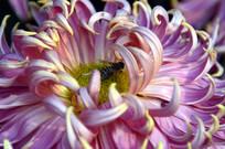 菊花花瓣图片