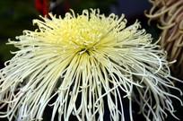菊花花卉花瓣特写图片