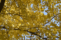 秋天风景里的银杏树林