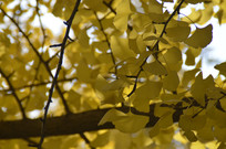 秋天风景里的银杏树林特写