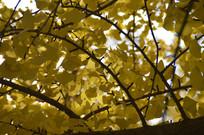 秋天风景里的银杏树林特写图