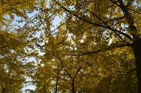 秋天风景里的银杏树林特写图片
