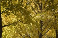 秋天风景银杏树林特写