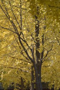 秋天风景银杏树林特写图