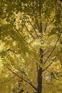 秋天风景银杏树林特写图片