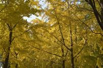 秋天风景银杏树林图