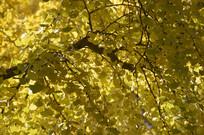 秋天风景银杏树林图片