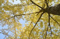秋天里的银杏树林图片