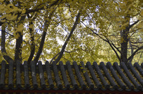 银杏树荫下的屋顶